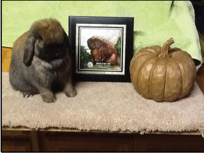 ARBA Solid Junior Doe Holland Lop